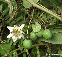 Passiflora cuspidifolia Harms, 1893