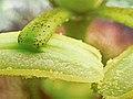 Passiflora edulis-Stamen.jpg