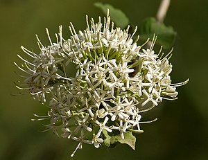 Pavetta - Image: Pavetta crassicaulis flowers in Hyderabad W IMG 8710