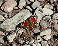 Peacock Butterfly resting on Shingle.jpg