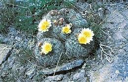 Pediocactus simpsonii ssp idahoensis fh 9 6 ID B