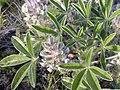 Pediomelum esculentum (Psoralea esculenta) (4016143158).jpg