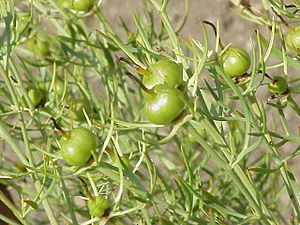 Botanical identity of soma–haoma - Harmal seed capsules