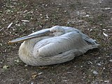Pelecanus-crispus-dalmatian-pelican-0a.jpg