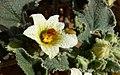 Pequeña flor concurrida (30583531807).jpg