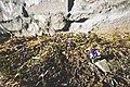 PermaLiv gråsteinsmurskrokus 27-03-20.jpg