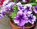 Petunia (Petunia ×atkinsiana).jpg