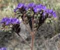 Phacelia crenulata crenulata.png