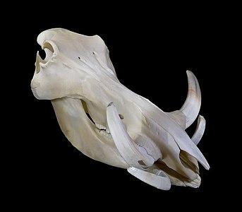 Skull of Phacochoerus
