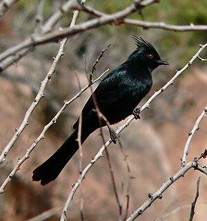 Silky-flycatcher family of birds