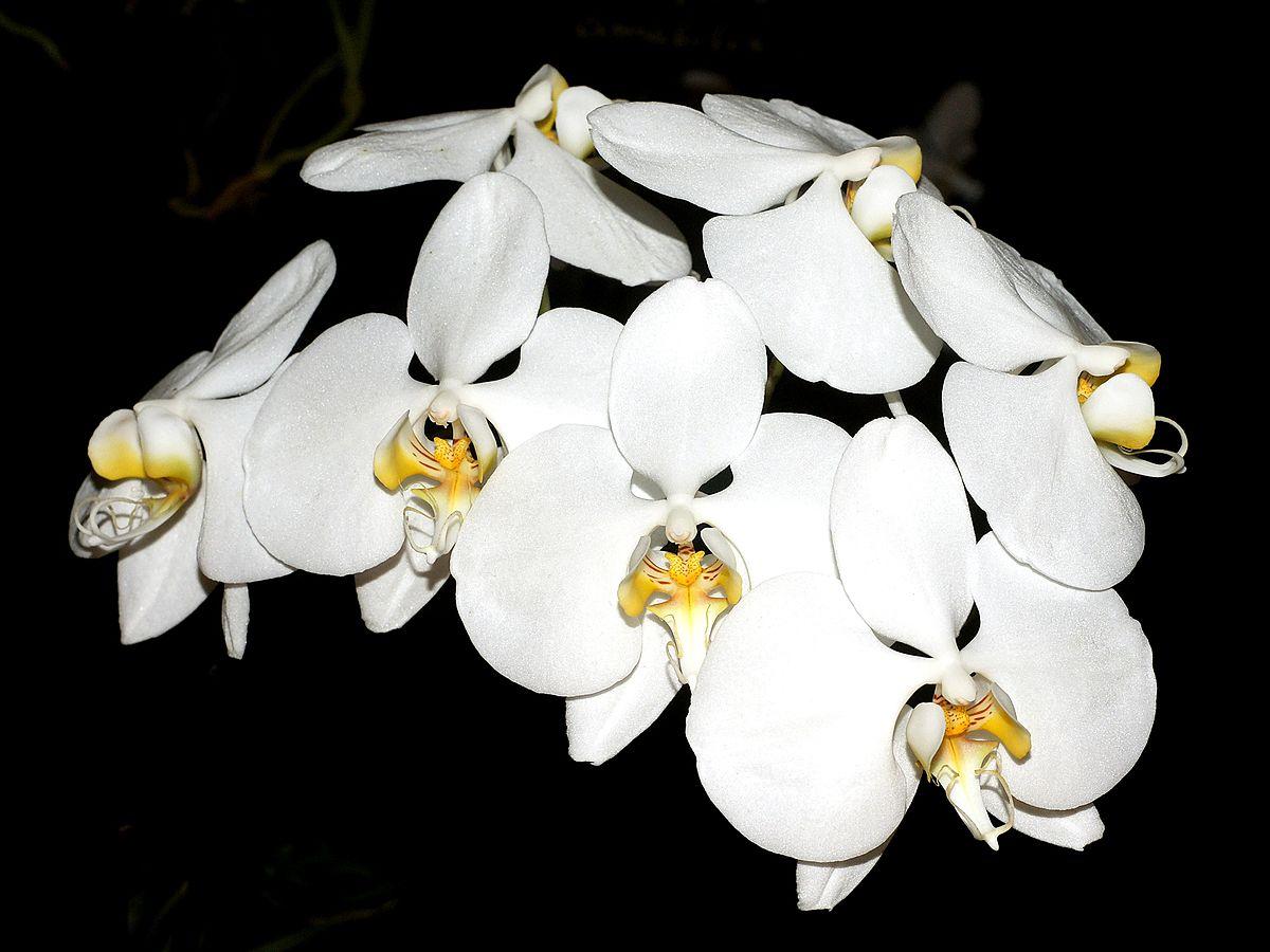 phalaenopsis amabilis wikispecies