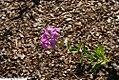 Phlox paniculata 4zz.jpg