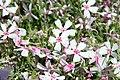 Phlox subulata Apple Blossom 2zz.jpg
