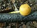 Pholiota alnicola a1 (1).jpg