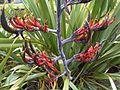 Phormium tenax - wetland 2.jpg