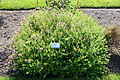 Phuopsis stylosa - Bergianska trädgården - Stockholm, Sweden - DSC00219.JPG