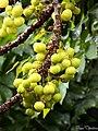 Phyllanthus acidus(star gooseberry) (18147015903).jpg