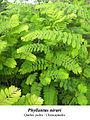 Phyllantus niruri chancapiedra.jpg