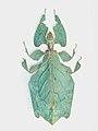 Phylliumgiganteum.JPG