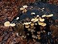 Phyllotopsis nidulans 105901123.jpg