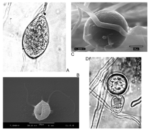 Phytophthora-Formen: A:Sporangia. B:Zoospore. C:Chlamydospore. D:Oospore.