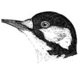 Picoides borealisAPP049LB.png