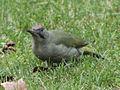 Picus viridis sharpei 008.jpg