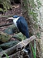 Pied Heron (32592251261).jpg