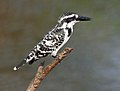 Pied Kingfisher (Ceryle rudis) in Hyderabad W IMG 8336.jpg