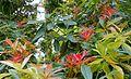 Pieris formosa - Trewidden Garden - Cornwall, England - DSC02220.jpg