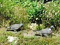 Pigeon ramier (adulte et juvénile) Périgueux (1).JPG