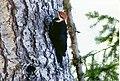 Pileated Woodpecker-Olympics.jpg