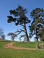 Pines at Powderham - geograph.org.uk - 1223324.jpg