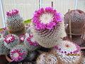 Pink Mammillaria (4526087245).jpg