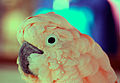 Pink Moluccan Cockatoo.jpg