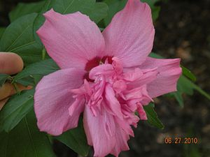 Rose of Sharon - Pink Rose of Sharon