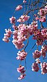 Pink double cherry blossoms in Torp 11.jpg