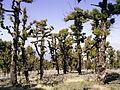 Pinus canariensis (Roque de Los Muchachos) 03 ies.jpg