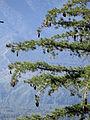 Pinus lambertiana San Gorgonio Wilderness 1.jpg