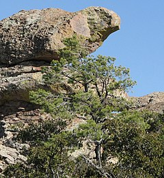 Pinus leiophylla subsp. chihuahuana, Bird Rock, Chiricahua National Monument, Arizono