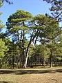 Pinus nigra Cuenca.JPG