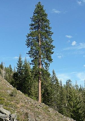 Pinus ponderosa - Pinus ponderosa subsp. ponderosa