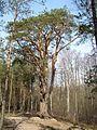 Pinus silvestris001.jpg