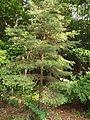 Pinus sylvestris Scots Pine, cultivated, Altamount TN 2.jpg