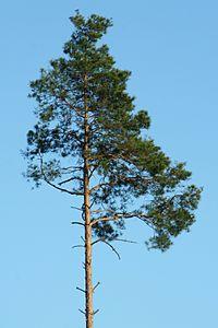 Pinus sylvestris, tall