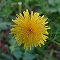 Pissenlit (Taraxacum) (2).jpg