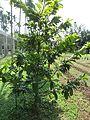 Pistacia vera (Pistachio) tree in RDA, Bogra 03.jpg