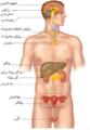 Pituitary gland ckb.png