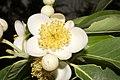 Plant Schima Flower IMG 8544 02.jpg