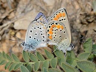 <i>Plebejus pylaon</i> species of insect